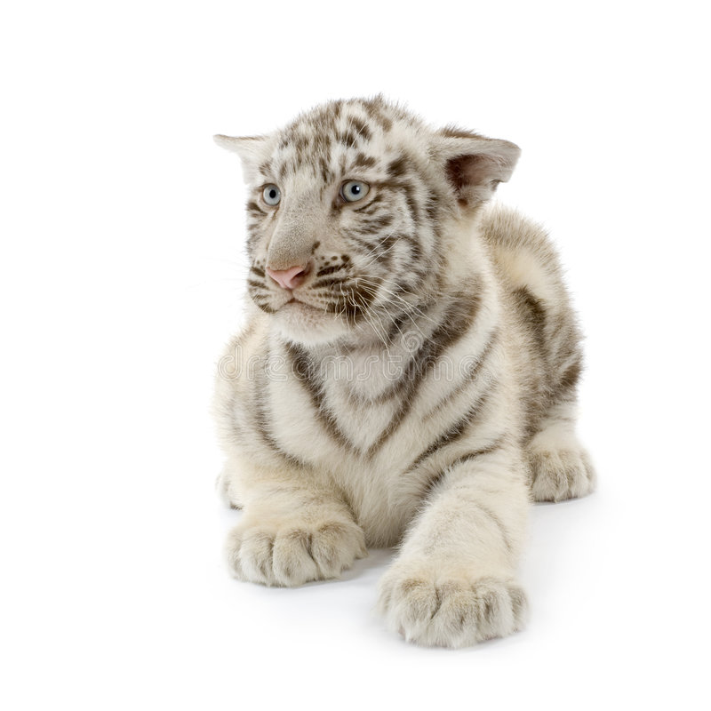 white för tiger för 3 gröngölingmånader arkivbild