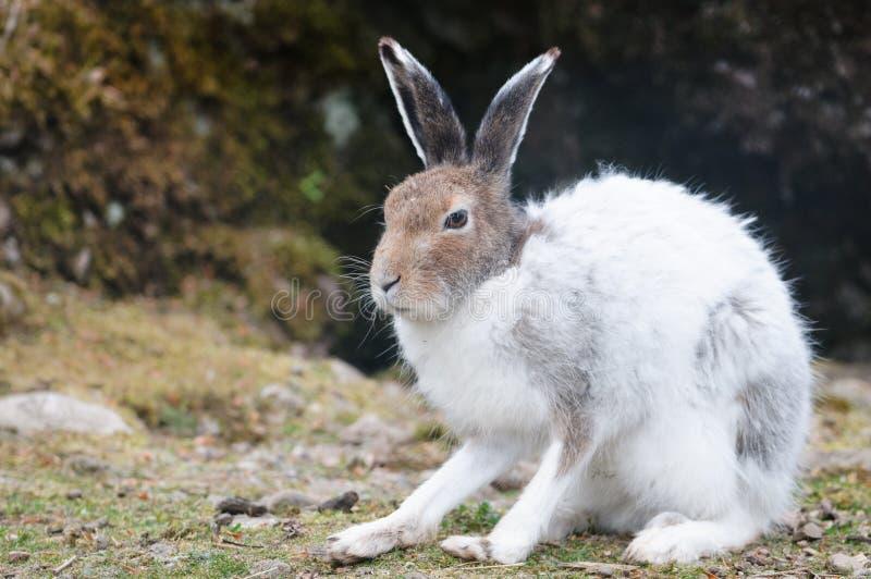 white för timidus för berg för harelatlepus fotografering för bildbyråer