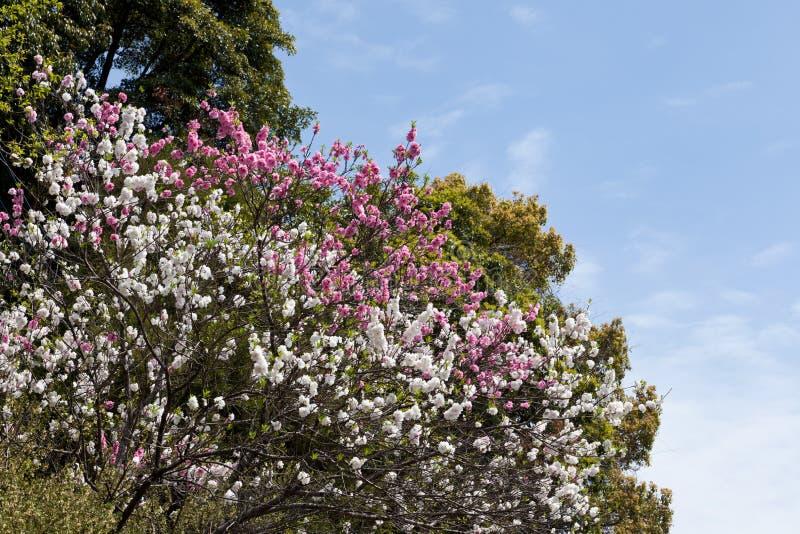 white för tree för Cherrydouble blommig röd arkivbild