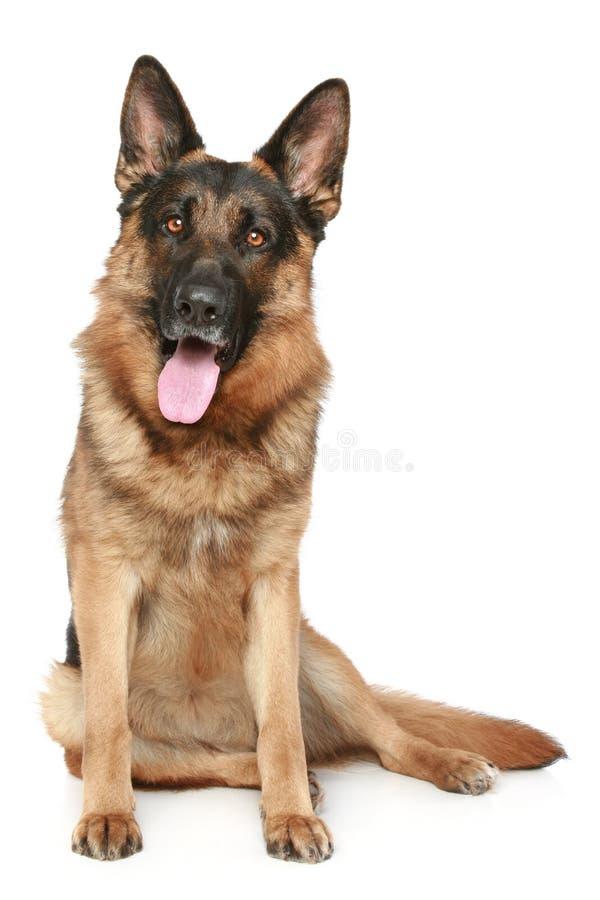 white för tysk herde för hund sittande arkivfoton
