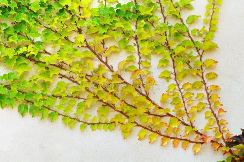 white för vägg för filialmurgröna packad arkivbild