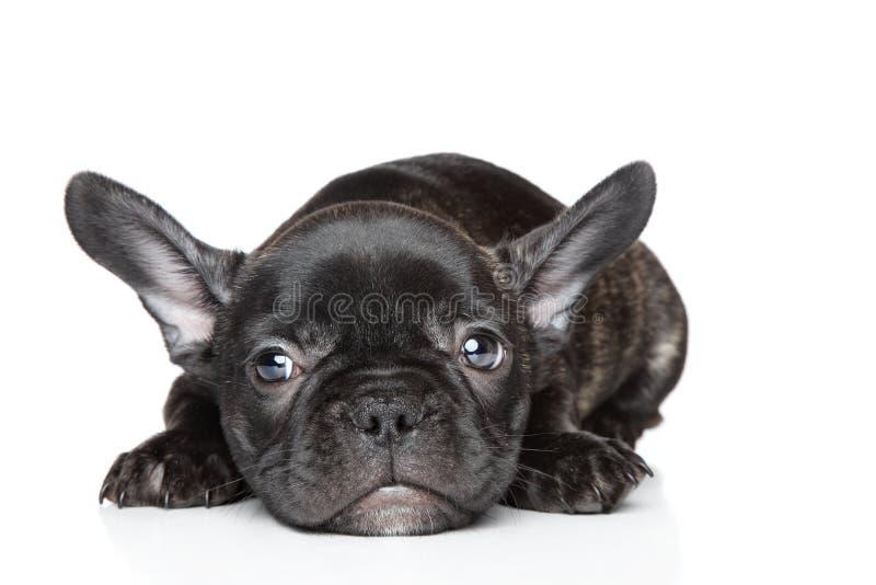 white för valp för lies för bakgrundsbulldoggfransman royaltyfria foton