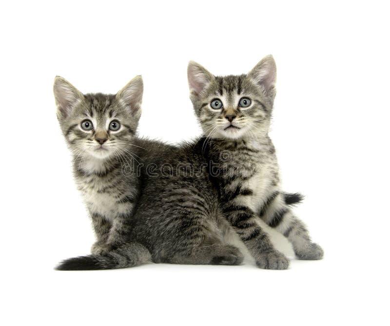 white för kattungetabby två royaltyfri foto
