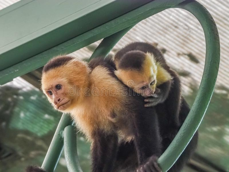 White faced capuchin and baby on the roof stock photo