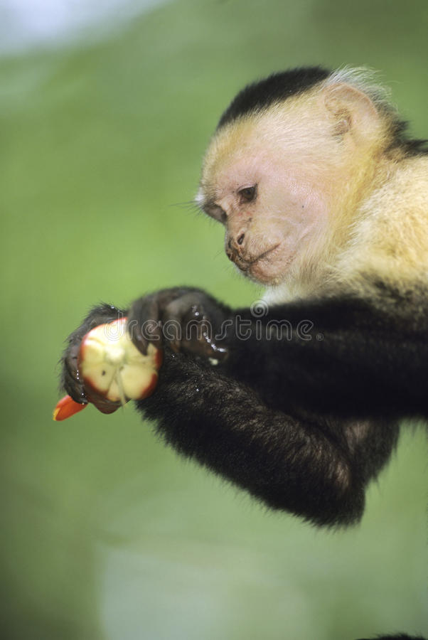 White-faced Capuchin-Fallhammer, Costa Rica lizenzfreie stockfotos
