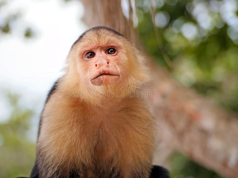 White-Faced Capuchin monkey. Head of White-Faced Capuchin monkey, national park of Cahuita, Caribbean, Costa Rica stock images