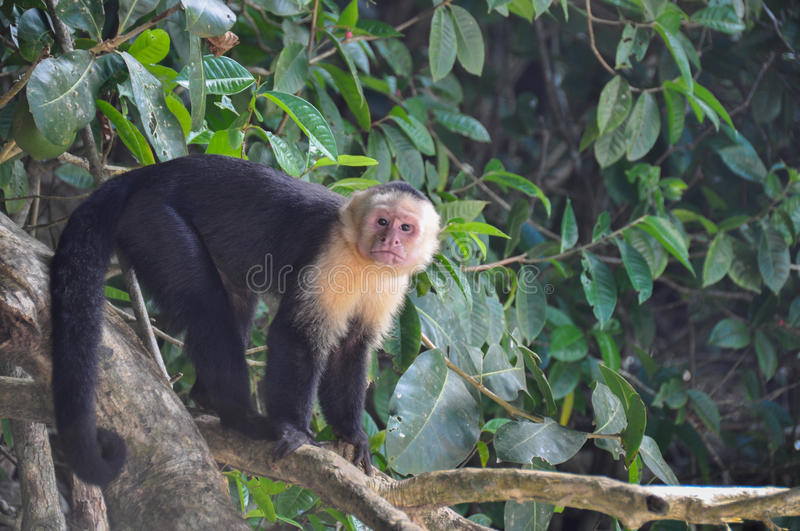 White Faced Capuchin Monkey in Manuel Antonio National Park, Cos royalty free stock photography