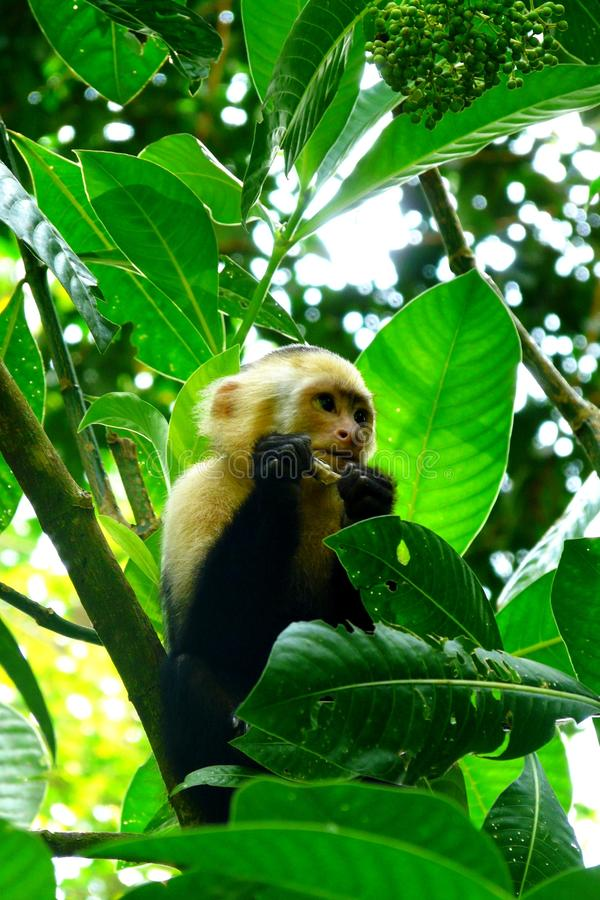 White Faced Capuchin monkey in Manuel Antonio National Park, Costa Rica stock images