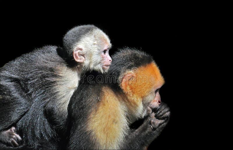 White-faced Capuchin Monkeys Royalty Free Stock Photo