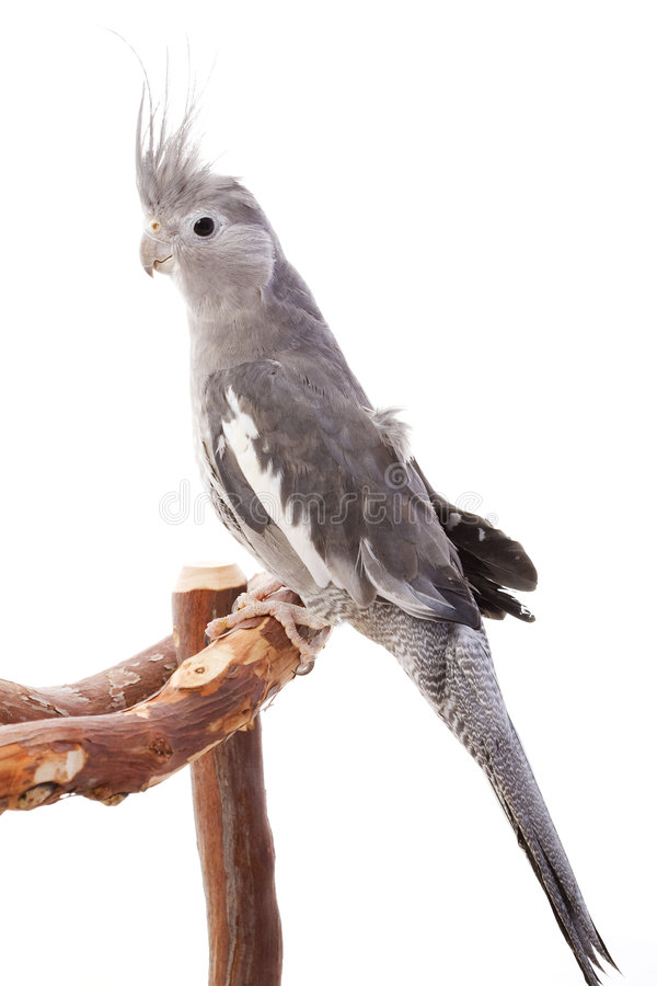 Free White-faced Cockatiel Stock Photography - 7202262