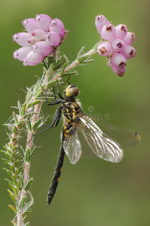 WHITE-FACED DARTER DRAGONFLY royalty free stock image