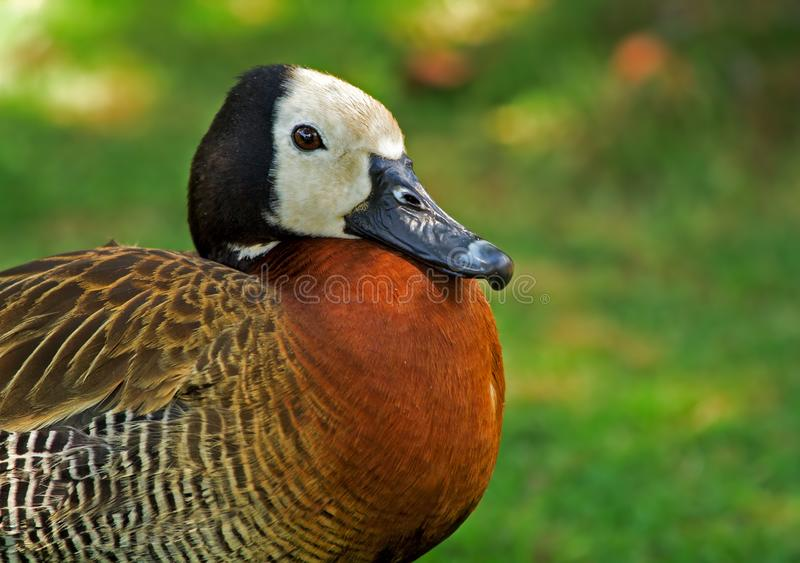 White-faced Duck #1 stock images