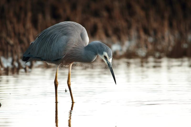 White faced heron. Wading in mangroves in brisbane nature reserve a symbol of diminshing fishing stocks adn waterbrids stock photos