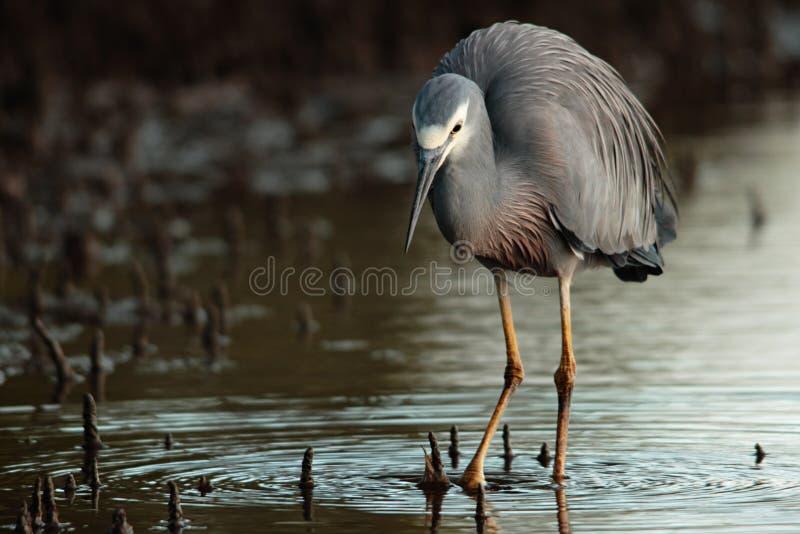 Download White faced heron stock image. Image of grey, animal - 25762363