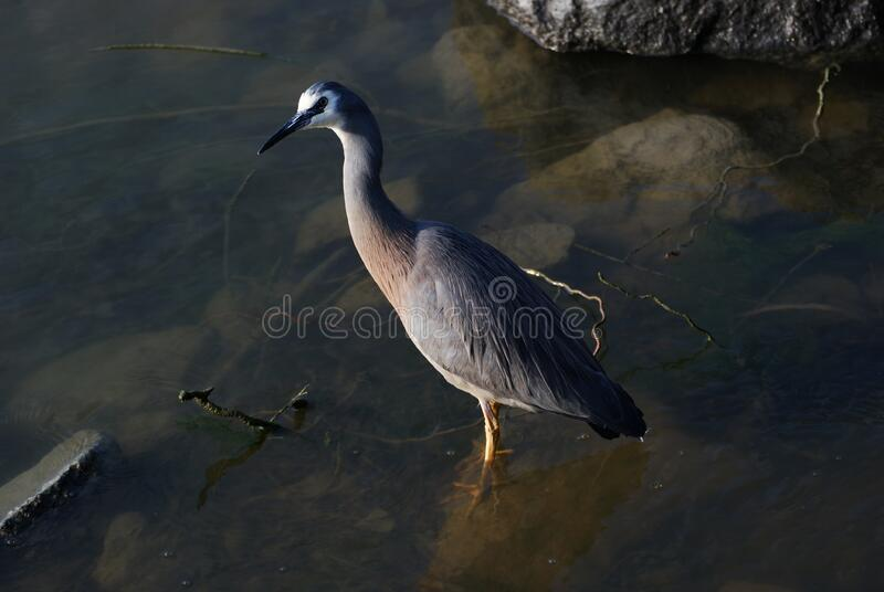 White faced heron. stock photography