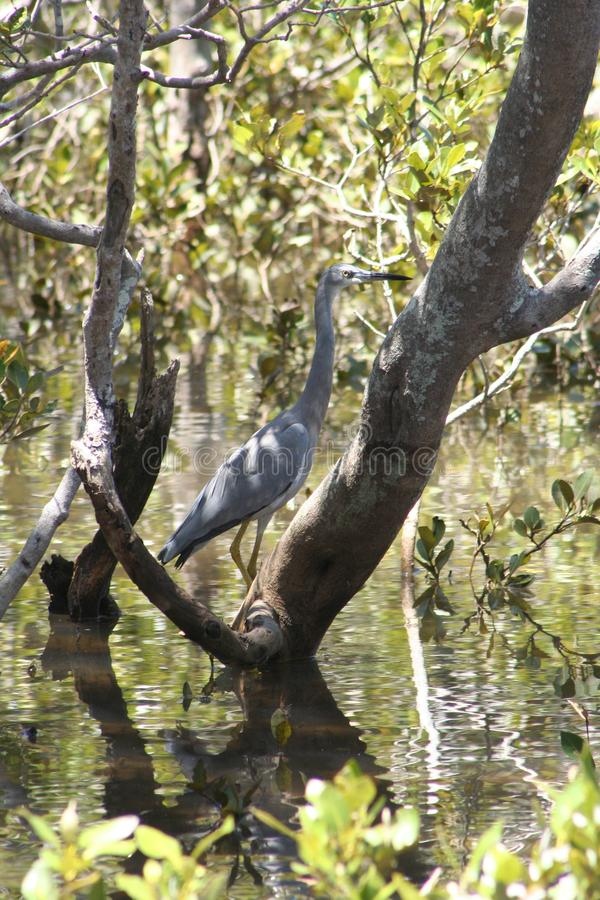 White faced Heron Australian bush bird in shallow water. In mangroves forest stock photography