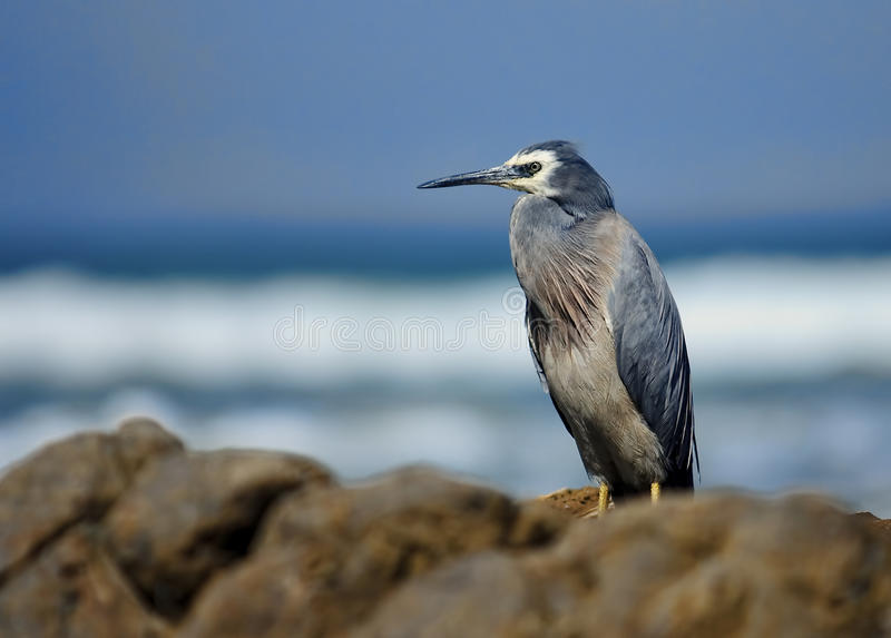White-faced heron (Egretta novaehollandiae) stock image
