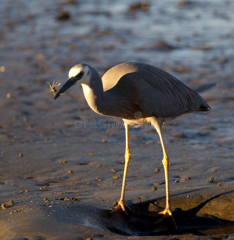 White-faced heron hunting crabs. Beach, wildlife, nature stock images