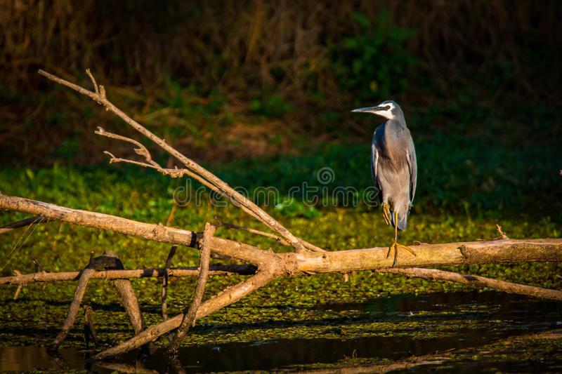 White Faced Heron in the Light. A White Faced Heron captured in the morning light on the shores of the Nepean River stock photos