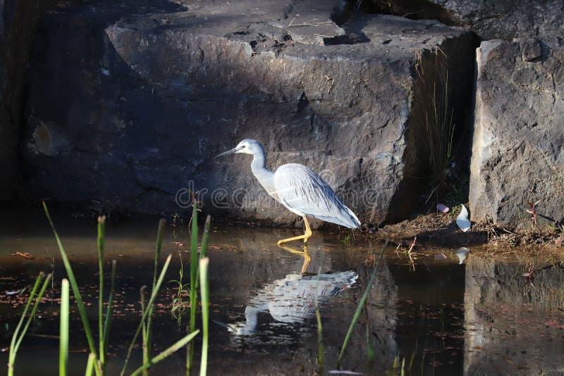 White-faced Heron royalty free stock image