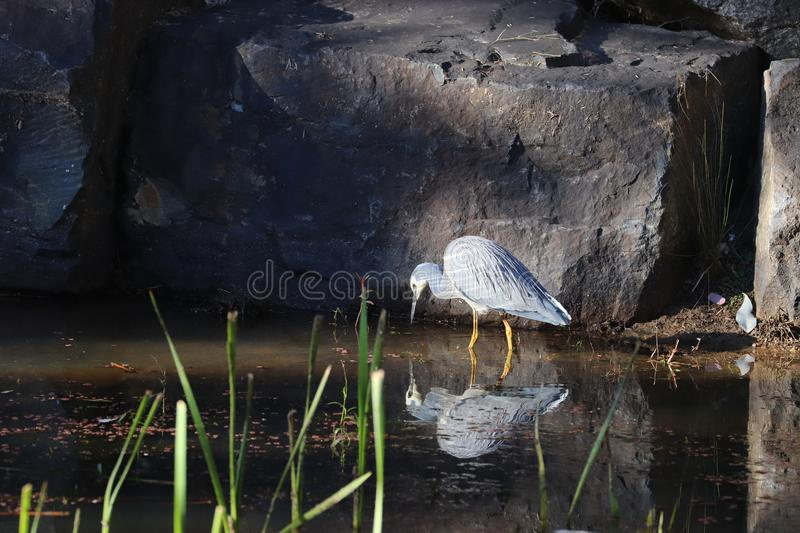 White-faced Heron stock images