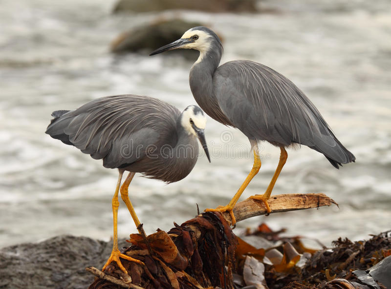White-faced Heron Pair. A pair of White-faced Heron perched along the shore of the Pacific Ocean in Kaikoura, New Zealand royalty free stock photo