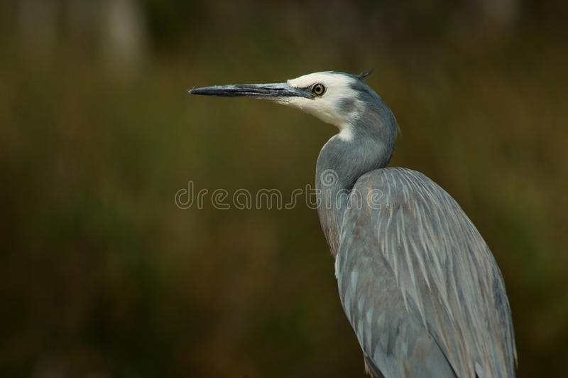 White-faced heron with sedges in background stock photography