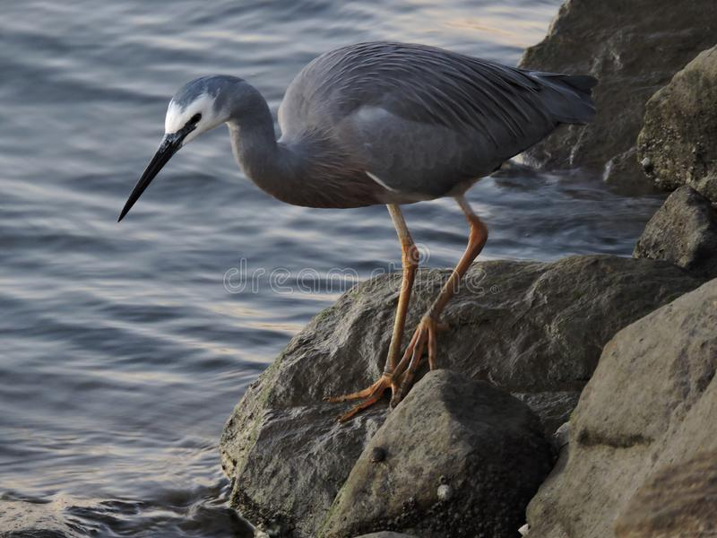 White-faced heron standing on rocks. White faced heron perching on rocks by the river looking for prey royalty free stock images