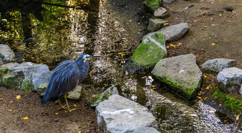 White faced heron standing at a small river, tropical coastal bird from Australia. A White faced heron standing at a small river, tropical coastal bird from royalty free stock image