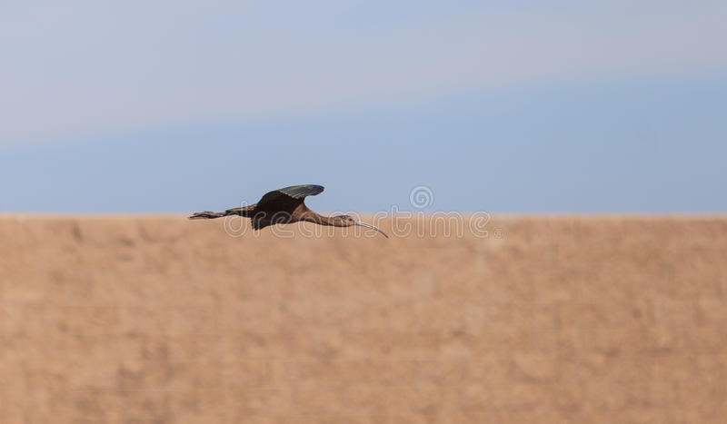 White faced ibis, Plegadis chihi, flies. Above the marsh at the San Joaquin wildlife reserve in Irvine, California, United States stock photo