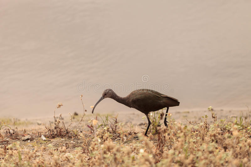 White faced ibis, Plegadis chihi. Forages in the marsh at the San Joaquin wildlife reserve in Irvine, California, United States stock photography