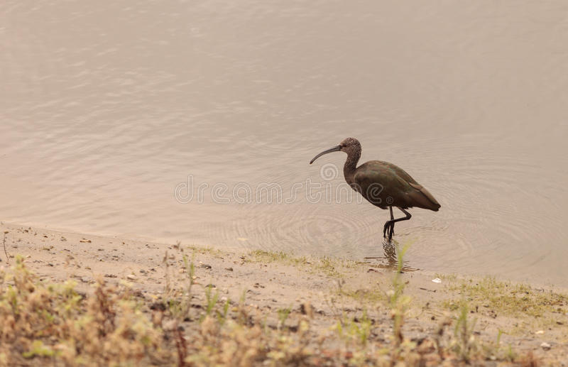 White faced ibis, Plegadis chihi. Forages in the marsh at the San Joaquin wildlife reserve in Irvine, California, United States royalty free stock image