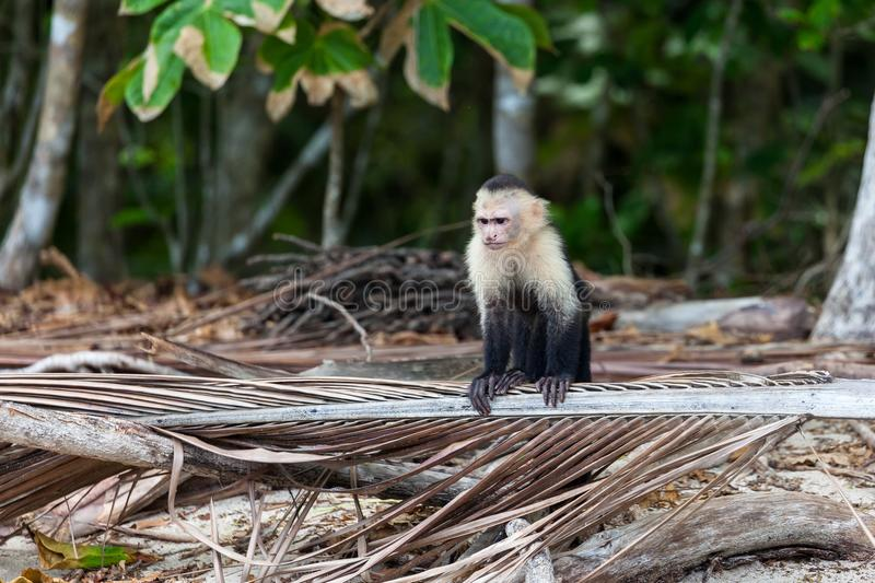 White faced or capuchin monkey stock images