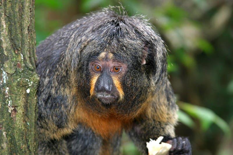 Download White faced saki stock image. Image of primate, monkies - 173529