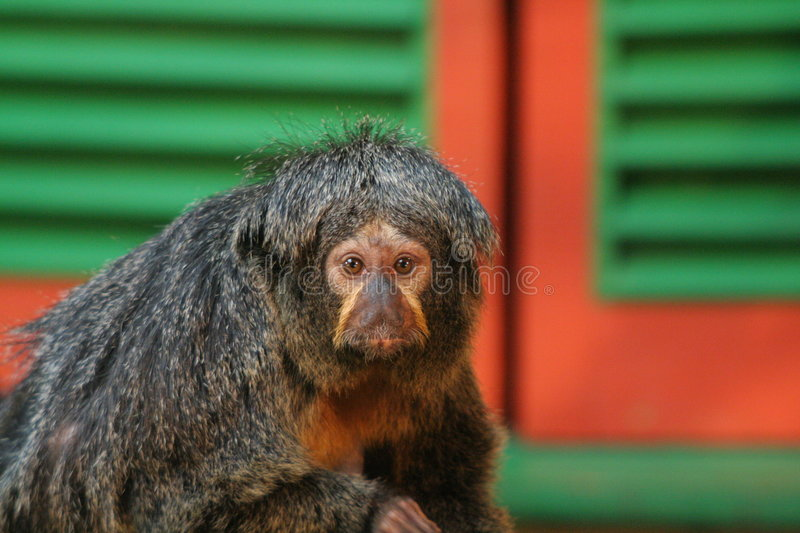 Download White faced saki stock image. Image of utan, hairy, conservation - 755785