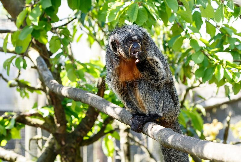 The white-faced saki female monkey royalty free stock photo