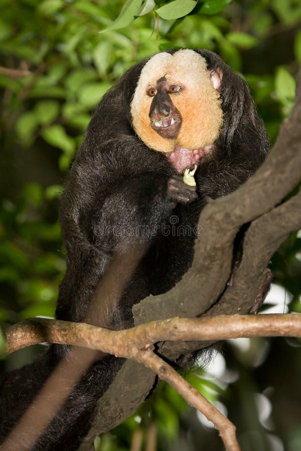 White Faced Saki Monkey royalty free stock photos