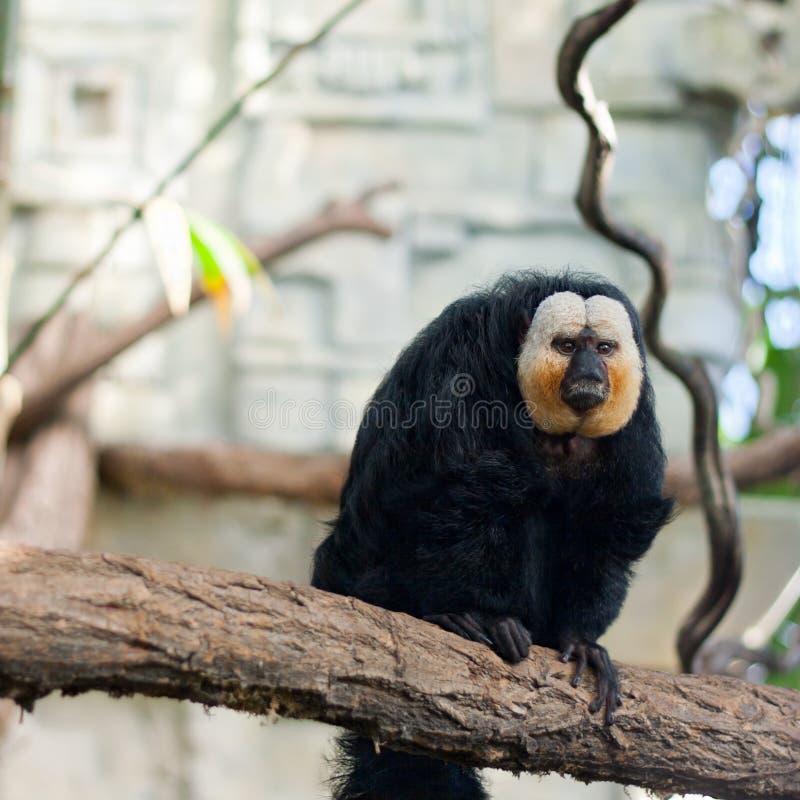 Download White-faced Saki Monkey Stock Photo - Image: 23812530