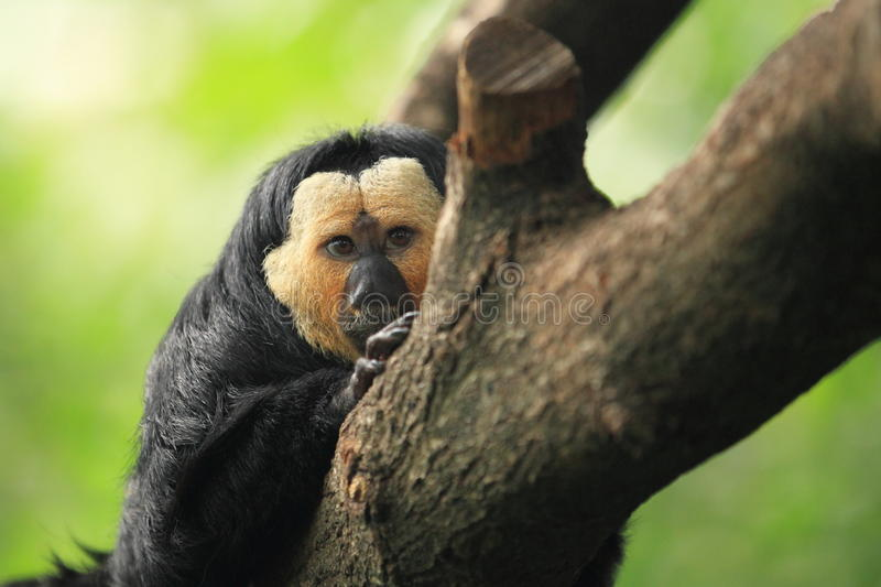 Download White-faced saki stock image. Image of south, golden - 37639323