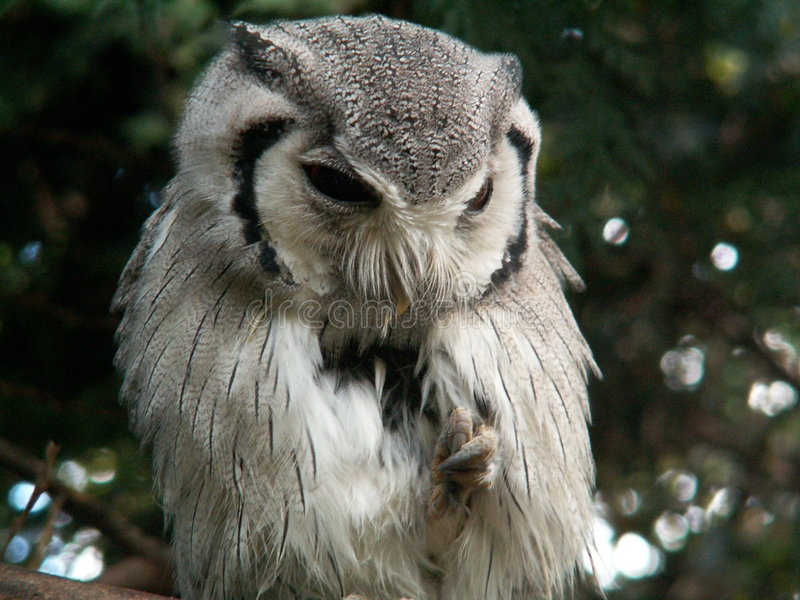 White faced scops owl royalty free stock photos