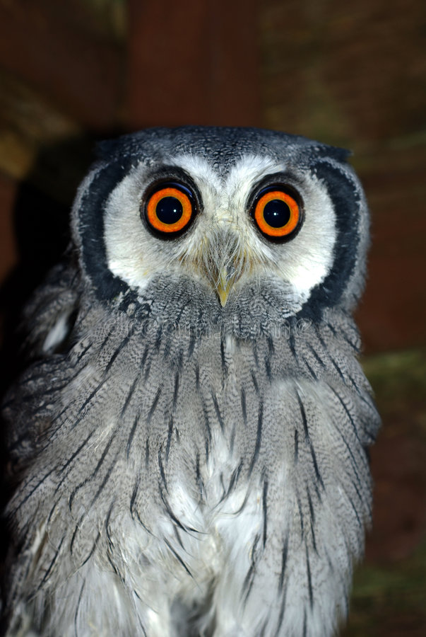 White Faced Scops Owl. Portrait of a White Faced Scops Owl royalty free stock image