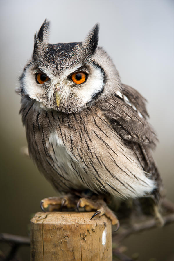 Download White Faced Scops Owl stock image. Image of predator - 30640219