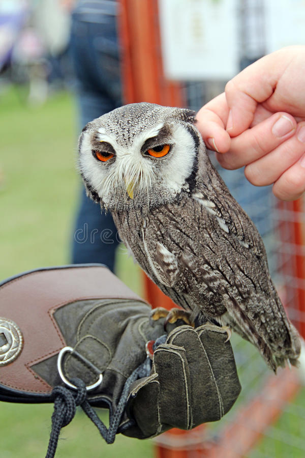 White Faced Scops Owl Stock Photography