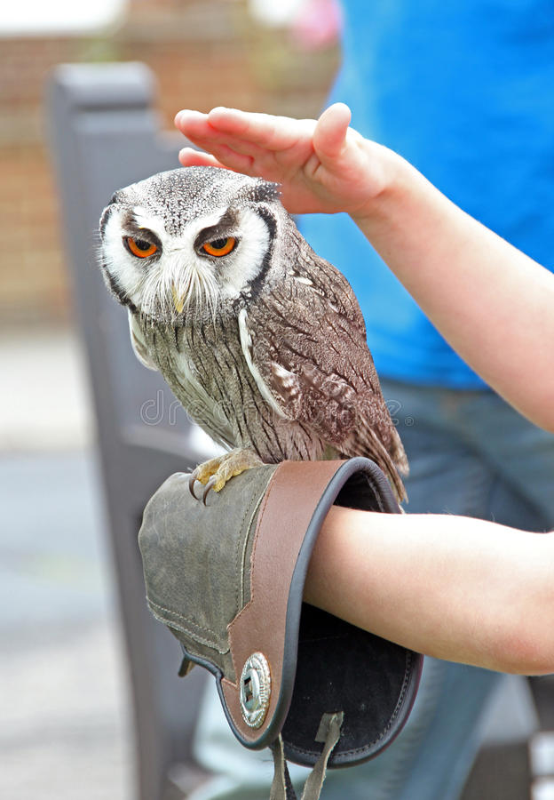 Download White faced scops owl stock image. Image of bird, rescue - 31970091
