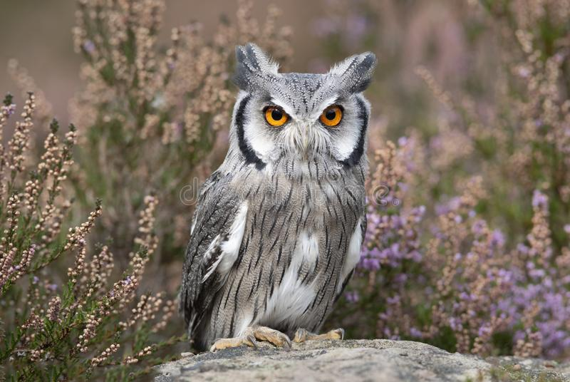 White faced scops owl on rock royalty free stock images