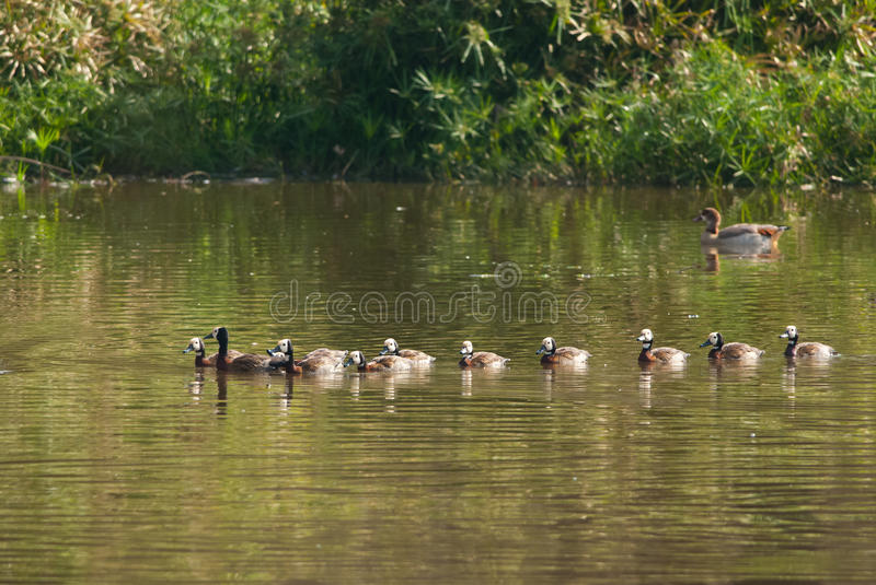 White-faced Whistling-duck stock images