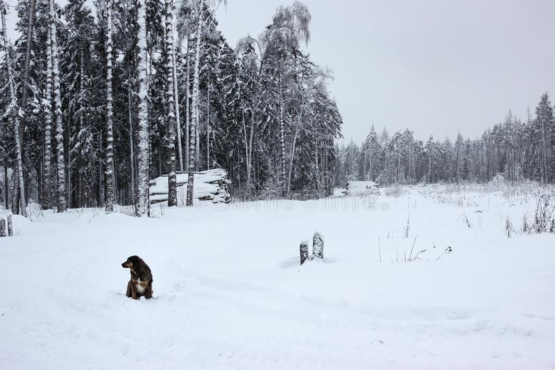 White Fairy Tale - Winter Forest Landscape and Dog royalty free stock image