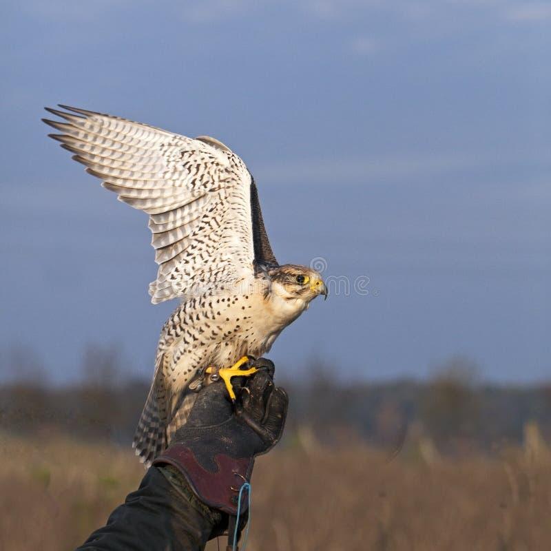 Free White Falco Cherrug Starts Stock Photography - 16715332