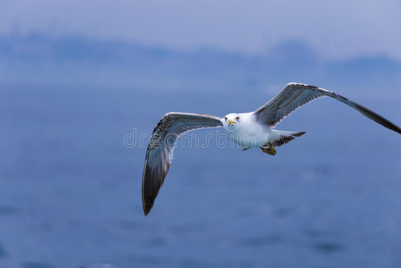 White falcon stock photo. Image of grey, natural, bird ...
