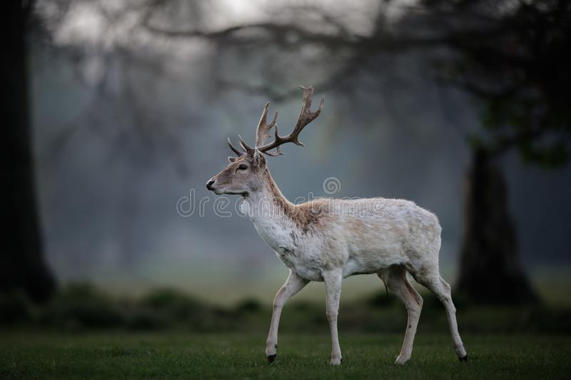 White Fallow Deer Buck in Woodland Clearing royalty free stock photo